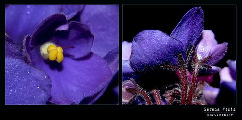 violette #3