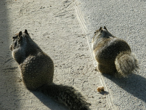 Chubby Squirrels 2