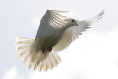 Transparent Dove (steve.west22) Tags: white bird nikon dove flight floating sigma landing falling elite freeze d200 transparent 70200 pictureperfect timing wickedawesome digitalcameraclub stevewest theworldisbeautiful aplusphoto theenchantedcarousel whiteiswhite 100commentgroup thewonderfulworldofbirds