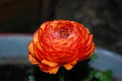 ranonkel (casimir62 . back to work) Tags: flower totalphoto impressedbeauty
