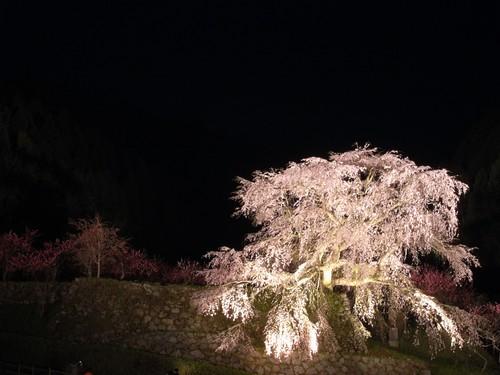 又兵衛桜(ライトアップ)-05