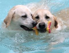 Best Friends (suzalayne) Tags: friends pets max dogs swimming yellowlab explore labradorretriever 20 sirus blueribbonwinner anawesomeshot impressedbeauty perfectphotographeraward