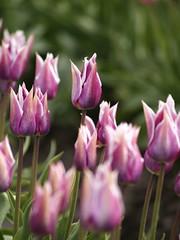 紫色鬱金香2