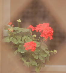 GERANIUMS VIEWED THROUGH A CURTAIN (Irene2727) Tags: red flower nature spring flora curtain geranium fiore filtered fpc pelagorium abigfave platinumphoto nikond40 anawesomeshot impressedbeauty impressedbyyourbeauty theunforgettablepictures macromix macromarvels
