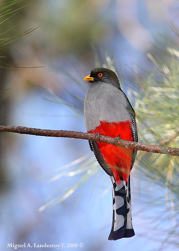 Papagayo o Piragua - Hispaniolan Trogon (Pryotelus roseigaster)
