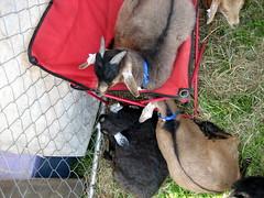 Prima Donna Goat
