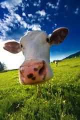 muuu! (Andrea Rum) Tags: summer italy tree green grass wall cow milk gate italia estate wine hill dream steak tuscany villa dio chianti fiorentina rum toscana latte winer mucca bovine cancello tuscan agriturismo casale bovino naturesfinest bistecca supershot mukka abigfave diamondclassphotographer flickrdiamond megashot theunforgettablepictures agriturism colourartaward coolestphotographers andrearum
