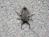 Mystery bug? (The Lawgiver) Tags: bug insect pinchers