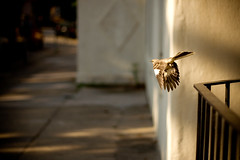 gust (jasfitz | letsfrolictogether.com) Tags: shadow sunlight bird georgia wings glow shade savannah winged soar