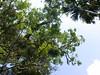 96.11.16竹崎鄉光華村茄苳風景區內的茄苳老樹DSCN3221