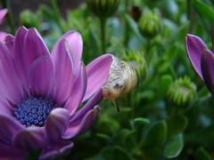 Snail on a purple flower (littlegumpy) Tags: flower cute green nature wet closeup garden purple snail slimy