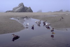 Harris Beach State Park sea birds (wanderingYew2 (thanks for 5M+ views!)) Tags: statepark bird film beach fog oregon pacificnorthwest oregoncoast southcoast pacificcoast us101 filmscan seastack pacificcoasthighway harrisbeachstatepark harrisbeach allamericanroad unitedstateshighway101