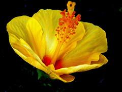 elegant ~ more elegant ~ hibiscus (© the-best-is-yet-to-come ©) Tags: natureselegantshots 100commentgroup mygearandme mygearandmepremium dblringexcellence bestofblinkwinners