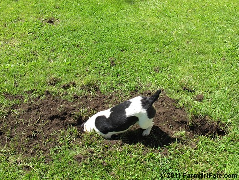 Why we don't landscape the backyard - Farmgirl Fare mole patrol