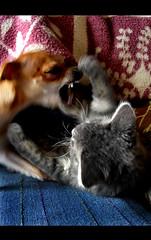 Mac Dre and Ben (Aerdna Elocin) Tags: chihuahua fight kitten play andrea fangs humboldtcounty vicious fearless psychokitty psychocat allinfun nikonstunninggallery fernbridgeca theywerentreallyfighting accordingtomydadtheydothisforhoursandnoonegetshurt ijustthoughtitwasfunny