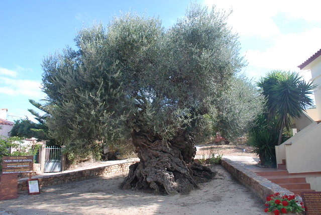 57. A 3000-4000 yr old olive tree at Ano Vouves