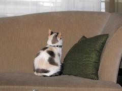 """La la la (zxgirl) Tags: cats cat feline kitty felines animalia mammalia felis carnivora felidae feliscatus chordata"