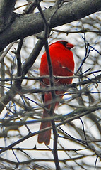 A BIT OF COLOR DURING WINTER (melodysr) Tags: winter red color bird nature cardinal bokeh vivid avian naturesfinest blueribbonwinner mywinners anawesomeshot avianexcellence naturewatcher colourartaward theperfectphotographer