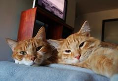 Laziness (kekyrex) Tags: cats animals portraits lazy felines