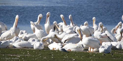 American White Pelican-1