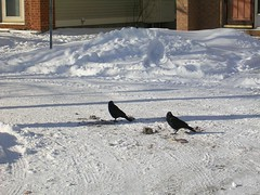 crows picking at garbage