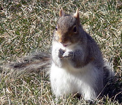 1- 28- 08 - 656  Webster eating crackers... (Frozen in Time photos by Marianne AWAY OFF/ON) Tags: nature animals squirrels wildlife critters webster smallanimals backyardcritters naturesfinest sciuruscarolinensis easterngreysquirrel mywinners nationalgeographicwannabes mywinnerstrophy easterngreysquirrels outsidecritters mswebster nationalgeographiswannabes