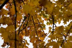 (ashesmonroe) Tags: wood trees winter wild sky oktober detail nature leaves forest germany deutschland ast laub herbst blätter bäume badenwürttemberg canonef50mmf18ii hohenlohe badenwrttemberg eckartshausen ilshofen landkreisschwäbischhall b¦ume landkreisschw¦bischhall bl¦tter