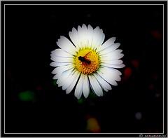 Ensueo (nemomemini) Tags: flowers naturaleza flores macro luz nature olympus mywinners sp510uz aplusphoto superbmasterpiece diamondclassphotographer theperfectphotographer nemomemini