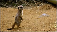meerkat (heroesbyheart) Tags: wild animals meerkat rhenen ouwehands februari dierenpark 022008