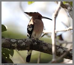 Hoopoe.... Upupa epops (Naseer Ommer) Tags: bird canon aves western tamilnadu upupaepops hoopoe ghat valparai passerine naseerommer upupiformes kfm3 malauyalikkoottam birdsofwesternghats
