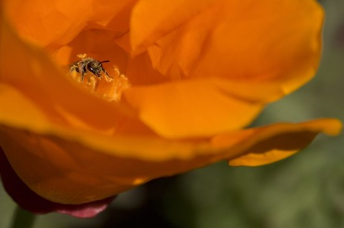 Willow Mining Bee on California Poppy