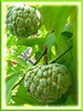 Annona squamosa var. Thai-lessard (Sugar Apple, Sweetsop, Custard Apple)