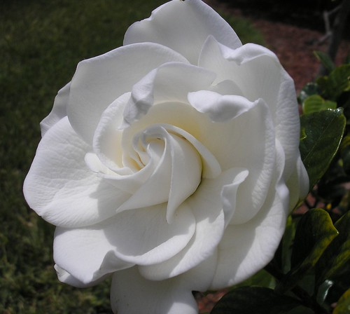 Gardenia - immagine tratta dal web (by Buttersweet - Flickr)