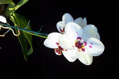 Phal. Haur Jin Princess 'C #1' (dwittkower) Tags: orchid flower flora orchids phalaenopsis orchidaceae phal orquideas orchidée orqudea