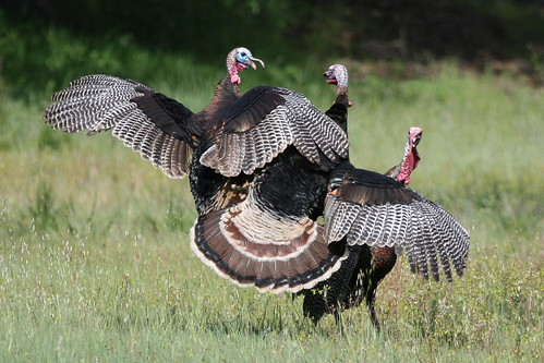 Wild Turkey-IMG_6190-Rancho San Antonio-Crop by gimlack.
