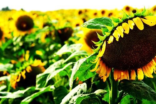 ..sunflowers..