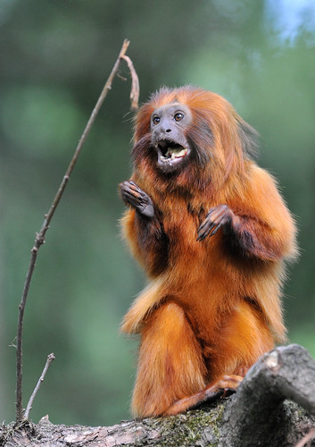 Golden Lion Tamarin @ Apenheul