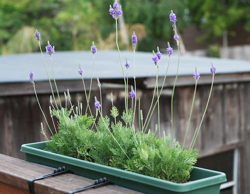 Lavender: front