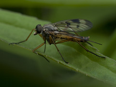 Lgy (asszem) - Fly (I think) (Spent) Tags: macro insect fly rovar