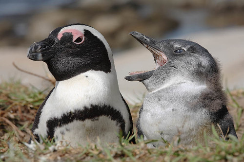 African Penguin with Chick, Boulders