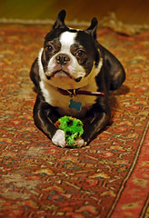 36 (blogjam_dot_org) Tags: dog dogs bostonterrier texas availablelight houston handheld montrose dogtoy pissed primelens 105mmf28gvrmicro misterpeabody tribalrug 77098 nikkor105mmf28gvr