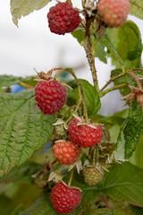 Rasberries on Oct 13th (atranswe) Tags: red oktober macro nature october sweden natur sverige rda falkenberg mywinners nikond40 dsc3505 mykindofpicturegallery 20071013 atranswe hallon13okt rasberriesonoct13th