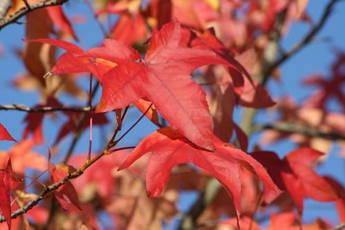 Maple Tree in Autumn - Close Up