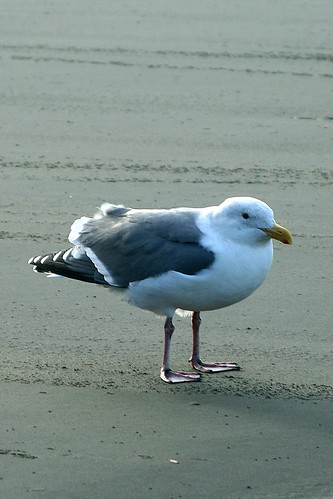 Seagull on a windy day