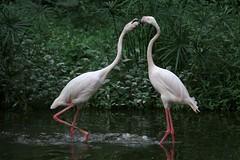 Argue 争 (randomix) Tags: guangzhou china bird nature animals zoo day outdoor flamingo 中国 animalplanet canton 中國 广州 廣州 火烈鸟 ef70200mmf4lisusm