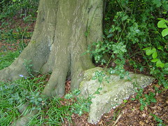 Puddingstone boundary marker in Piggots Wood, Bucks (Stuart Kings) Tags: trees england stone woodland king pudding stuart hills beech puddingstone chiltern rurallife chilternhills stuartking
