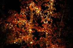 Sweet Gum Tree... (Flutterbye_856) Tags: nature leaves ilovenature lights joyce sweetgumtree explore156
