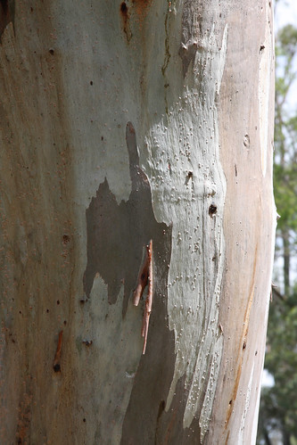River Red-gum