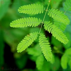 makahiya: the sensitive plant (jessleecuizon) Tags: sleeping plant west me grass leaves death sensitive philippines prayer touch shy mate mimosa shame vivi mori herb meaning tonga humble false loi makahiya indies tickleme pudica cebusugbo not aplusphoto kalandrakas