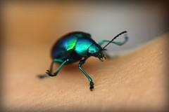 Pimp my bug (silkegb) Tags: macro verde green bug ilovenature beatle escarabajo metalic insecto coleottero metalizado abigfave diamondclassphotographer flickrdiamond colourartaward avision enchulameelbichoibaaquedarmuyfeo amoestosbichos